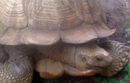 344-year-old Ogbomoso tortoise, Alagba, is dead