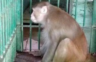 Monkey jailed for life for killing 1 person, injuring 250